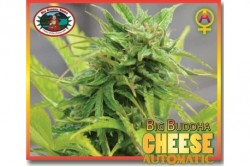 10 UND FEM - CHEESE AUTOMATIC * BIG BUDDHA SEEDS 10 UND FEMINIZADAS