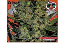 10 UND FEM - CRITICAL MASS AUTOMATIC * BIG BUDDHA SEEDS 10 UND FEMINIZADAS