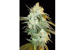 5 UND FEM - HEAD STASH AUTO * BIG HEAD SEEDS FEMINIZADA 5 UND