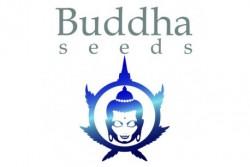 10 UND AUTO  FEM    - BUDDHA PURPLE KUSH (BLISTER)  * BUDDHA SEEDS