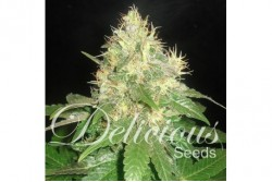 1 UND FEM - NORTHERN LIGHT BLUE (INDICA LINE) * DELICIOUS 1 UND FEMINIZADA