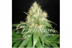5 UND FEM - NORTHERN LIGHT BLUE (INDICA LINE) * DELICIOUS 5 UND FEMINIZADAS