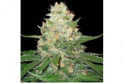 6 UND FEM - ROCKLOCK * DNA GENETICS GROW YOUR OWN 6 UND FEMINIZADAS
