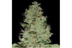 6 UND REG - OG GRAPE KRYPT * DNA GENETICS LIMITED 6 UND REGULARES