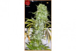 6 UND REG - IRIE * FRENCH TOUCH SEEDS  REGULAR  6 UND