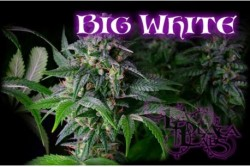 10 UND REG - BIG WHITE * LA PLATA SEEDS 10 UND REGULARES