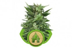 5 UND FEM - ROYAL KUSH AUTOMATIC * ROYAL QUEEN 5 UND FEMINIZADAS
