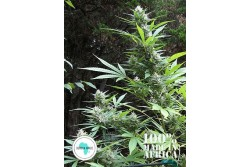 12 UND REG - DURBAN MAGIC * SEEDS OF AFRICA 12 UND REGULARES