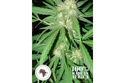 12 UND REG - COFFEE GOLD * SEEDS OF AFRICA 12 UND REGULARES