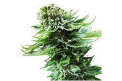 10 UND FEM - NORTHERN LIGHT AUTOMATIC * SENSI SEEDS 10 UND FEMINIZADAS