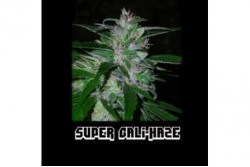 5 UND FEM - SUPER CALI HAZE (SUPER AUTO) * SHORT STUFF SEEDS FEM 5 UND