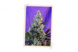 3 UND FEM - SWEET SKUNK FAST VERSION * SWEET SEEDS 3 UND FEMINIZADAS