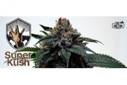 10 UND FEM - SUPER KUSH * THE DOCTOR SEEDS 10 UND FEMINIZADAS