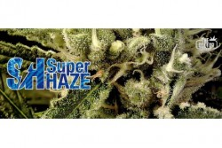 3 UND FEM - SUPER HAZE * THE DOCTOR SEEDS 3 UND FEMINIZADAS