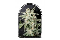 10 UND FEM - CONFIDENTIAL MEDICINE * THE KUSH BROTHERS SEEDS 10 UND FEMINIZADAS