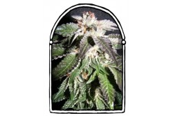 10 UND FEM - CONFIDENTIAL OG * THE KUSH BROTHERS SEEDS 10 UND FEMINIZADA