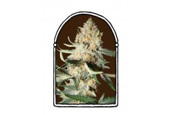 10 UND FEM - EXOTIC KUSH * THE KUSH BROTHERS SEEDS 10 UND FEMINIZADA