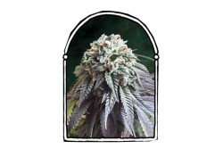 10 UND FEM - THE DARK SIDE * THE KUSH BROTHERS SEEDS 10 UND FEMINIZADAS