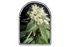 3 UND FEM - OG CHEESE * THE KUSH BROTHERS SEEDS 3 UND FEMINIZADAS