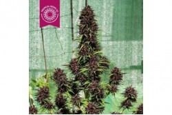 10 UND FEM - SMOOTH SMOKE * TROPICAL SEEDS 10 UND FEMINIZADAS