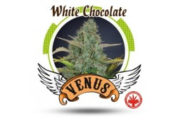5 UND FEM - WHITE CHOCOLATE * VENUS GENETIC 5 UND FEMINIZADAS