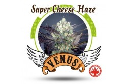 5 UND FEM - SUPER CHEESE HAZE * VENUS GENETIC 5 UND FEMINIZADAS