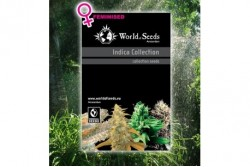 8 UND FEM - INDICA COLLECTION (WOS) * WORLD OF SEEDS FEMINIZADA 8 UND
