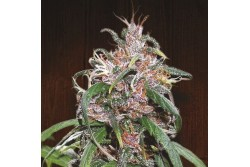 10 UND REG - PURPLE HAZE X THAI * ACE SEEDS 10 UND REGULARES