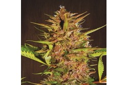 10 UND REG - PAKISTAN CHITRAL KUSH * ACE SEEDS 10 UND REGULARES