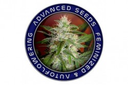 10 UND FEM - SOMANGO WIDOW * ADVANCED SEEDS 10 UND FEM
